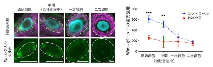 前顆粒膜細胞でのWntシグナルの活動状態の図