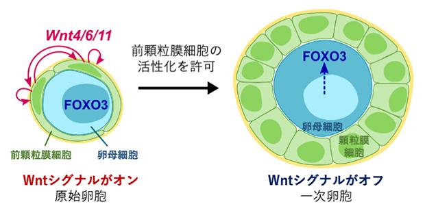 原始卵胞の活性化メカニズムのモデルの図
