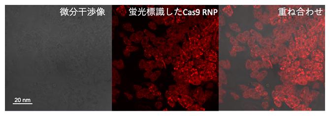 CPP-PICsomeに内包したCas9 リボヌククレオタンパク質(RNP)の細胞内局在の図
