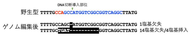 Cas9リボヌクレオタンパク質を導入したカルスに見られたゲノム編集の図