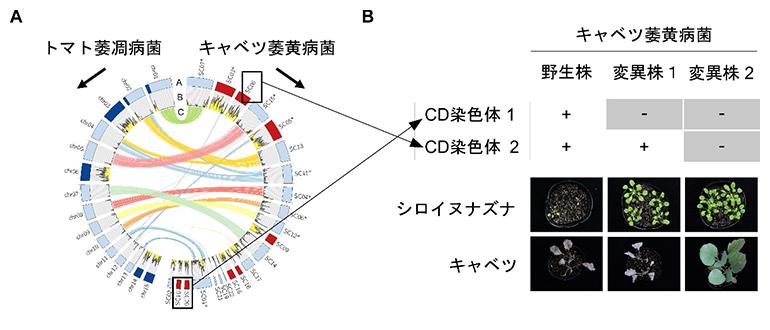 キャベツ萎黄病菌のCD染色体の特定の図