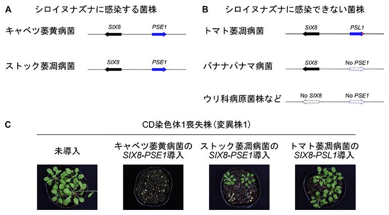 CD染色体1に座乗する二つの病原性遺伝子の遺伝的および機能的な保存性の図