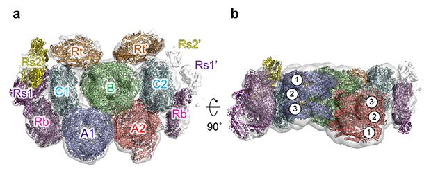 T. vulcanus フィコビリソームの全体構造の図