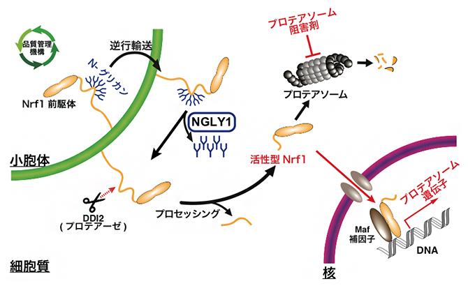 細胞内における酵素NGLY1の生理機能の図