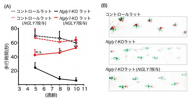 ヒトNGLY1遺伝子導入ラットの運動機能の解析の図