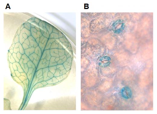 シロイヌナズナにおけるNPF4.6タンパク質の局在部位の図