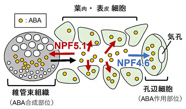 NPF4.6およびNPF5.1によるABA輸送の制御モデルの図
