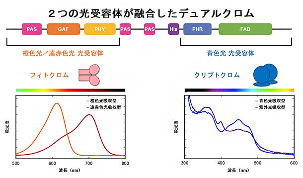 デュアルクロムの機能ドメイン構造と吸光度の図