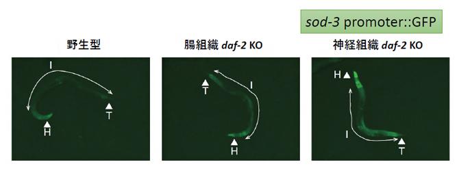 腸組織または神経組織のdaf-2ノックアウトとDAF-16の活性の関係の図
