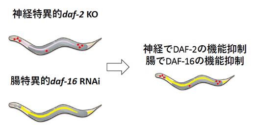 異なる2組織で異なる2遺伝子の操作の図