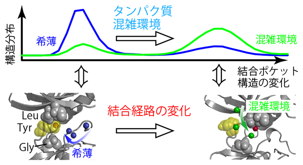 溶液の混雑化に伴う結合ポケットの構造変化と結合経路の変化の図