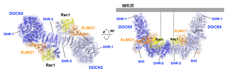 細胞運動におけるELMO1-DOCK5複合体によるRac1の活性化の図