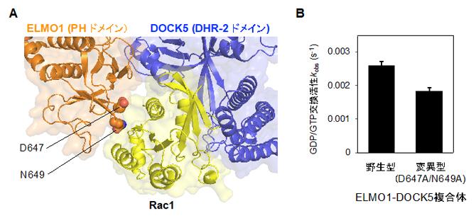 DOCK5によるRac1の活性化を補助するELMO1のPHドメインの図