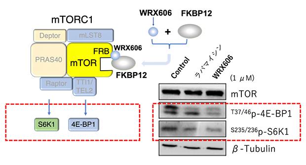 WRX606のmTORC1阻害効果の図
