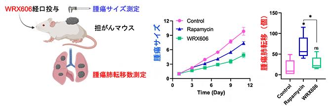 担がんマウスによるWRX606の抗がん効果の図