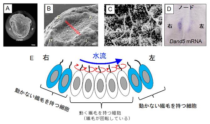 マウス初期胚におけるノードの構造と水流の発生の仕組みの図