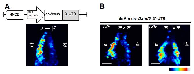 蛍光タンパク質の配列とDand5 mRNA の3'-UTRを融合したmRNAを発現するトランスジェニックマウス胚の図