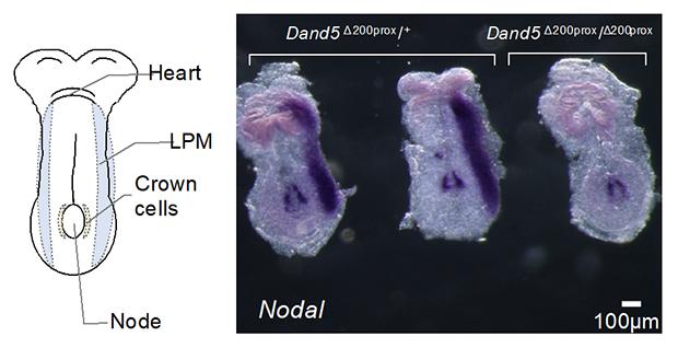 Dand5 mRNA 3'-UTRの5'末端200塩基に依存するNodal遺伝子の左側特異的な発現の図