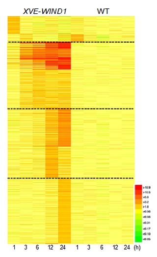 シロイヌナズナにおいて転写因子WIND1により発現する遺伝子のグループ分けの図