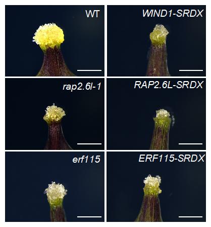 WIND1が制御する転写因子の機能抑制・欠損株における傷口のカルス形成抑制の図