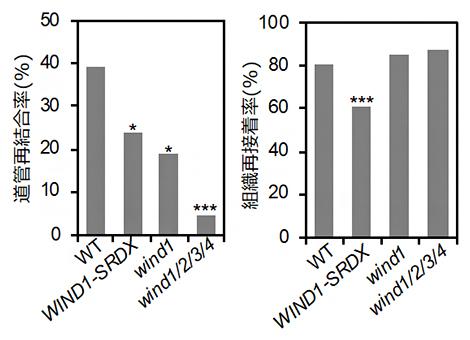 転写因子WINDの機能抑制・欠損株における道管再結合の抑制の図
