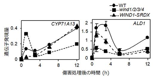 WINDの機能抑制・欠損株における防御応答関連遺伝子の傷害による発現上昇の抑制の図