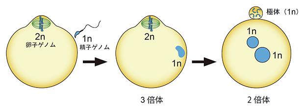 哺乳類の受精と倍数性の変化の図