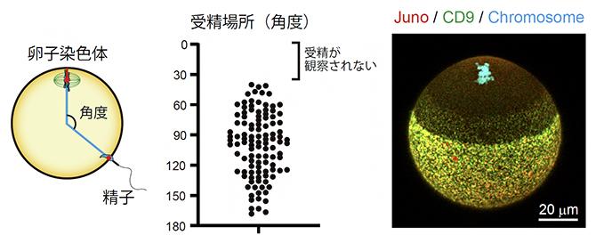 精子の融合場所の制御の図