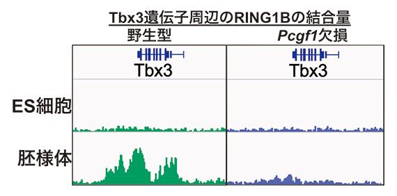 Pcgf1を欠損させたマウスES細胞と胚様体のTbx3遺伝子へのポリコム複合体の集積の図