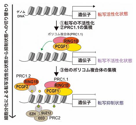 本研究で明らかにしたポリコム複合体PRC1.1による転写抑制状態形成の概要の図