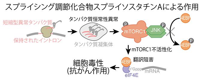 スプライソスタチンAによって誘導される一連の反応の図