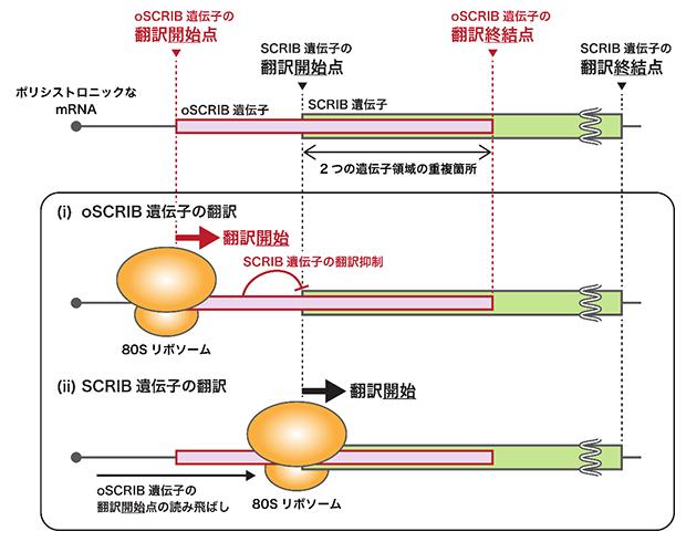 oSCRIB遺伝子によるSCRIB遺伝子の発現制御モデルの図