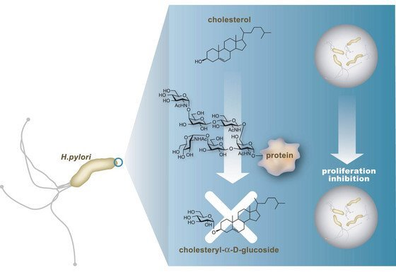 An illustration of how the hexasaccharide antibiotic prevents bacterial growth of Helicobacter pylori