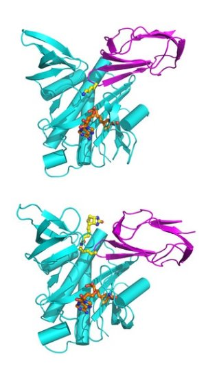 Image showing the structure of enzyme, BPL and BCCP