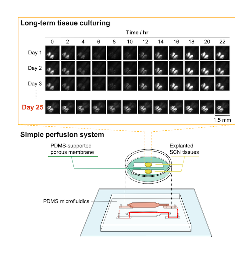 microfluidic device for extended tissue culture