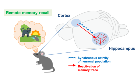 synchrony between cortex and hippocampus increases for older memories