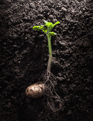 image of a potato sprout