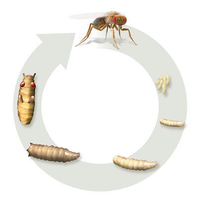 Diagram showing fly's life cycle